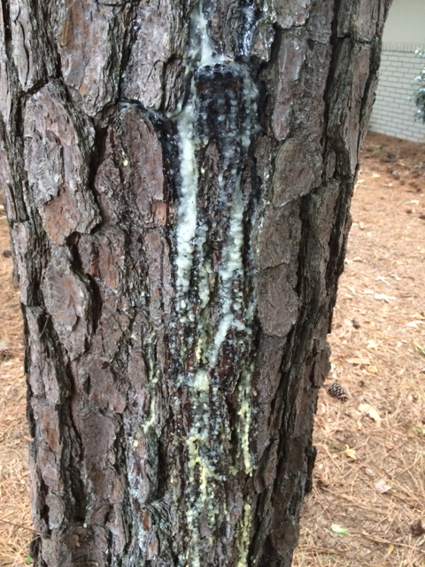 Pine Pitch Canker Disease Walter Reeves The Georgia