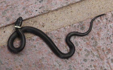 ring necked snake 1