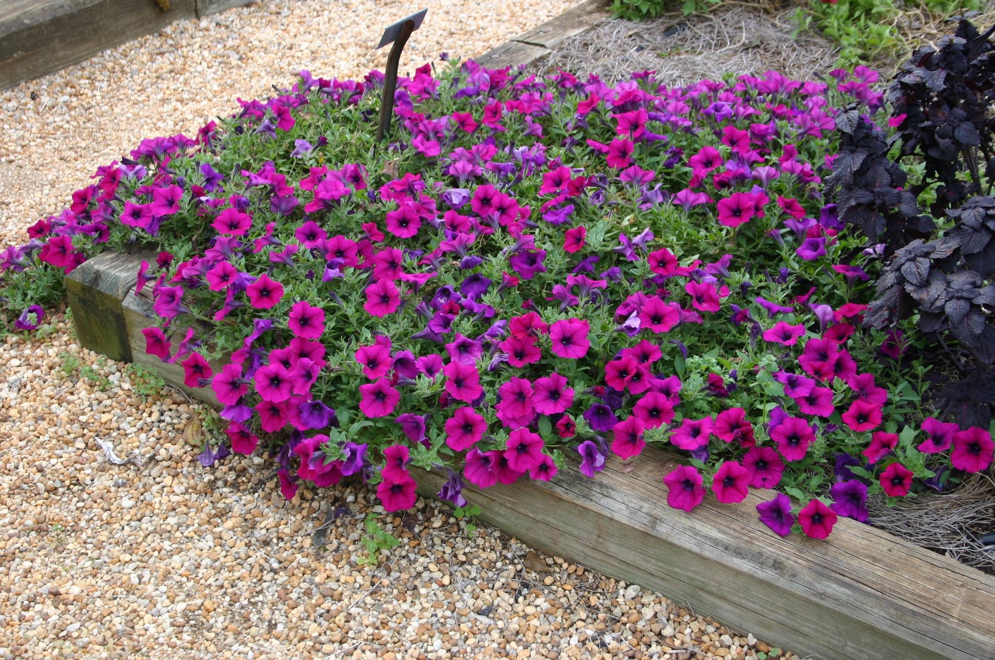 Petunia Growing From Seed Walter Reeves The Georgia Gardener