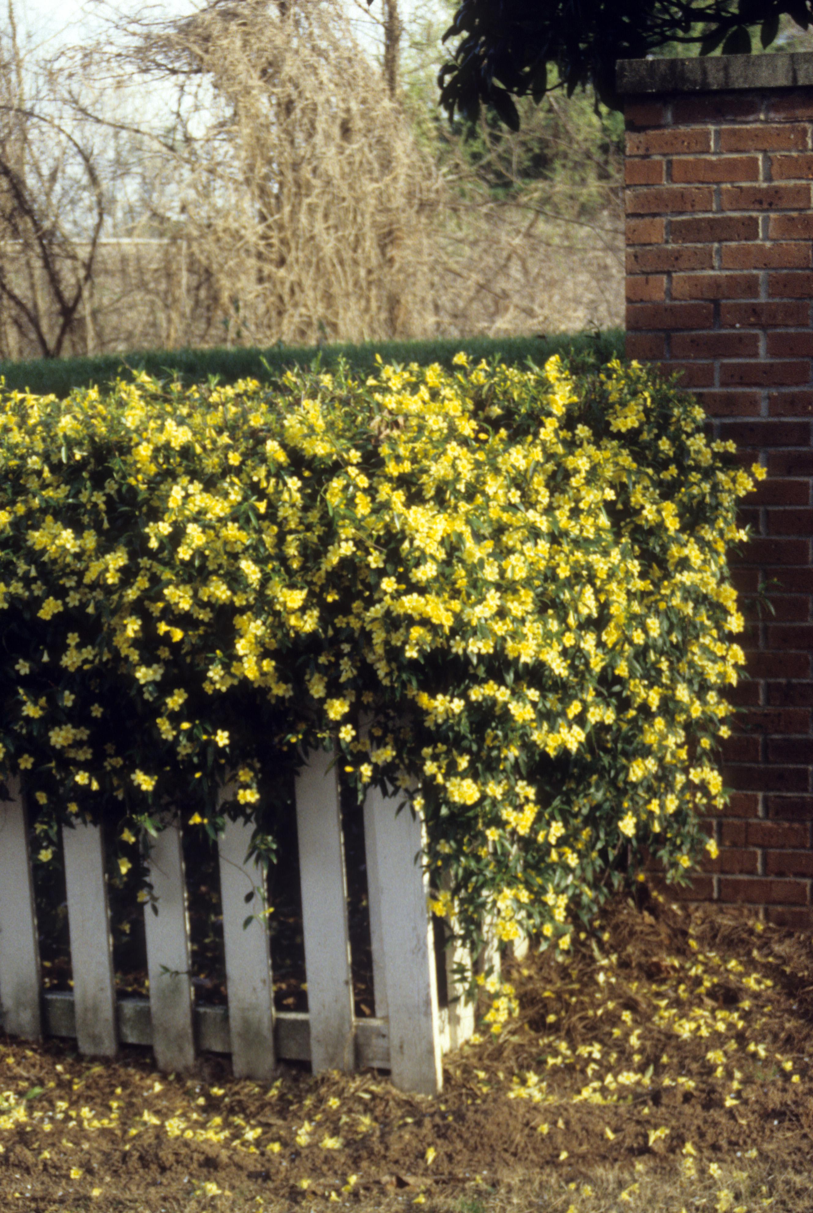 carolina jessamine  identification  walter reeves the georgia, Beautiful flower