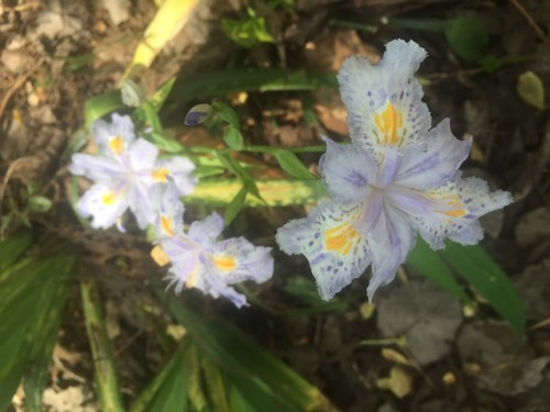 iris confusa bamboo iris 1