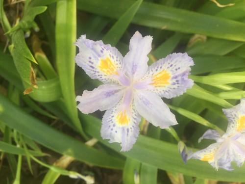 iris confusa bamboo iris 2