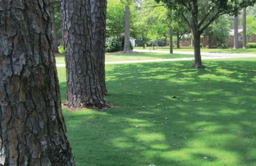 TifTuf bermudagrass growing in shade in Tifton GA