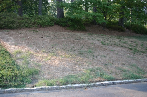 fescue in summer with no water