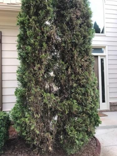 Arborvitae – Bagworms | Walter Reeves: The Georgia Gardener