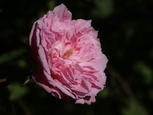 Rose rosette disease dug up
