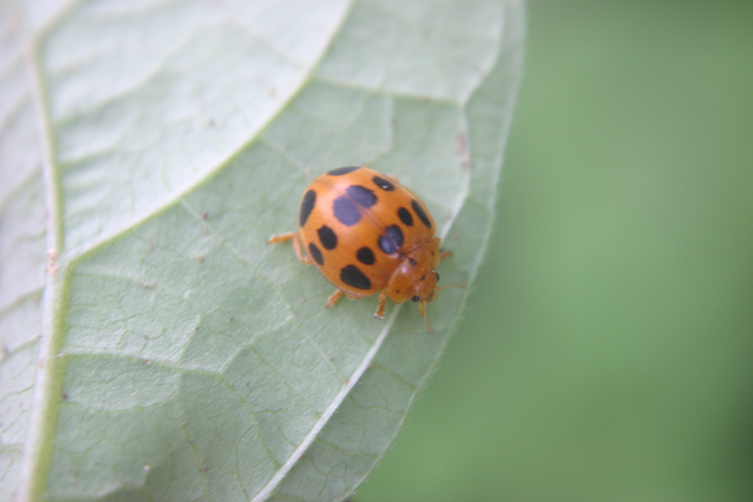 Lady Beetle (Lady Bug) – Identification with Pictures