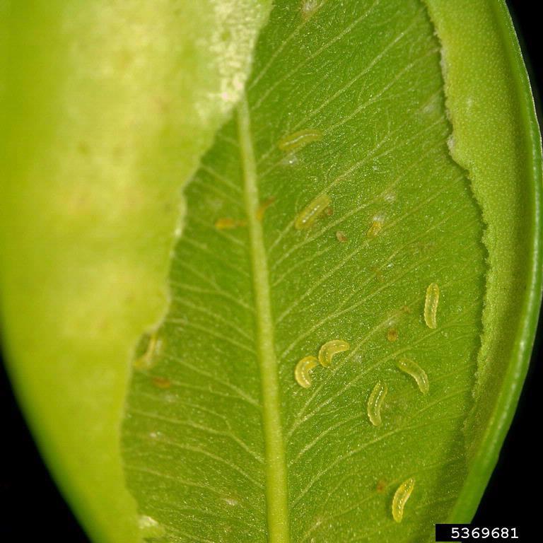leaf miner maggots (image courtesy of Brian Kunkel, University of Delaware, Bugwood.org)