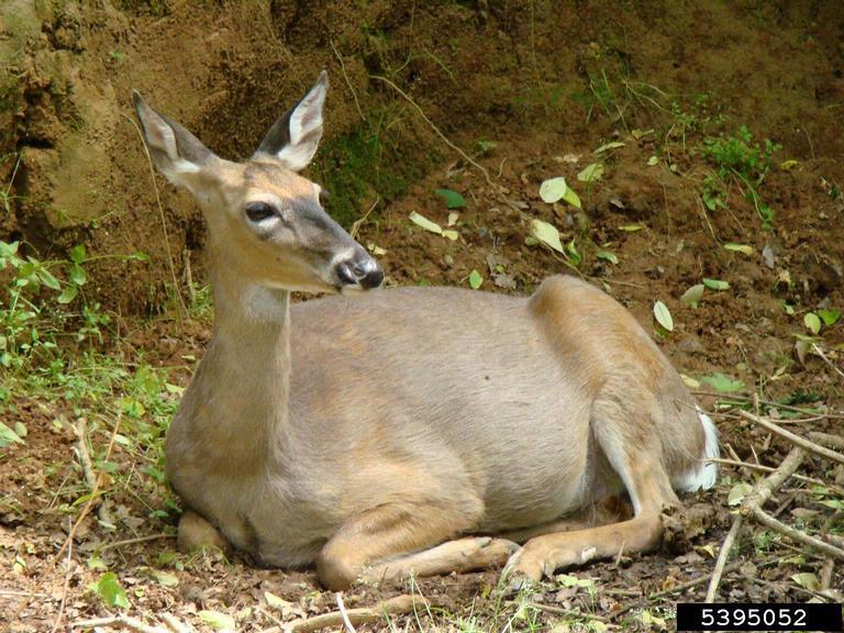 white-tailed deer (image courtesy of  Rebekah D. Wallace, University of Georgia, Bugwood.org)