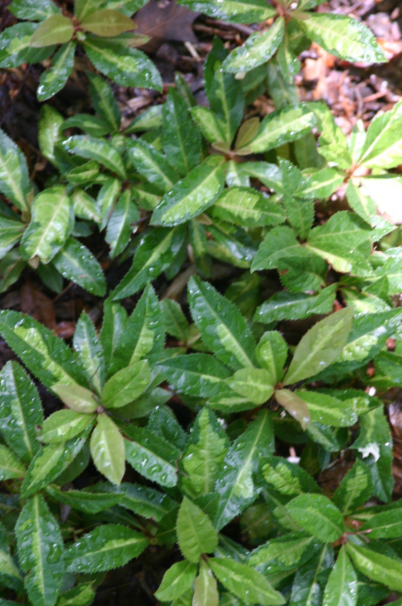 Ardisia japonica 'Hinode'