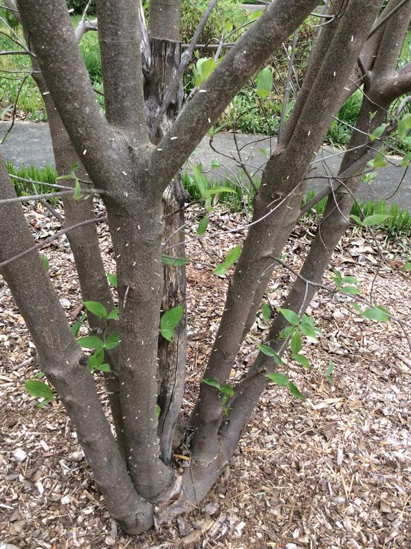 Asian ambrosia beetle dogwood