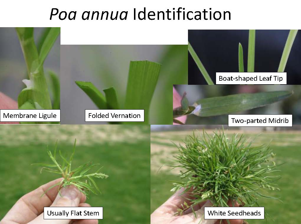 Askew_Poa_PGR_Herbicide 14