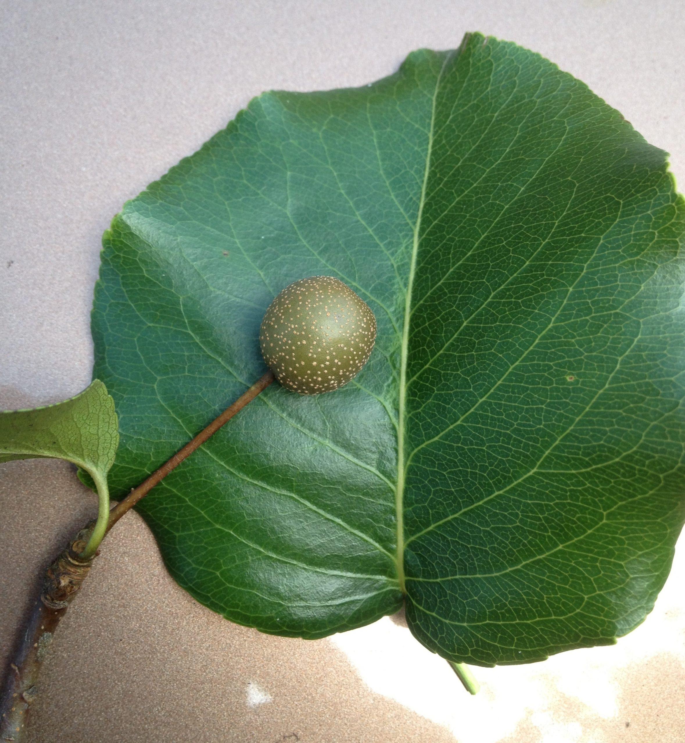 Bradford pear fruit