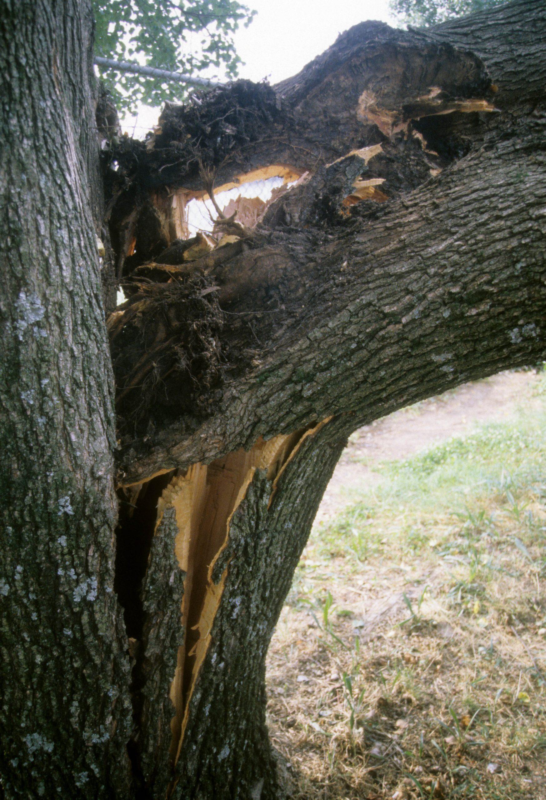 Bradford pear limb failure