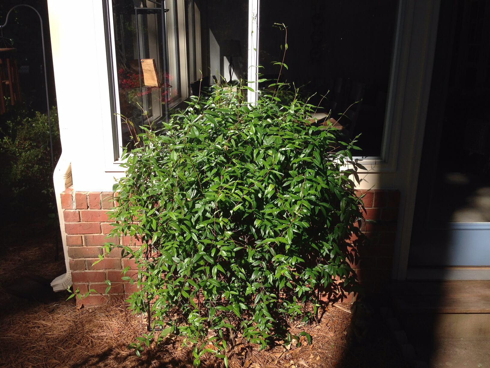 Carolina jessamine pruned 1