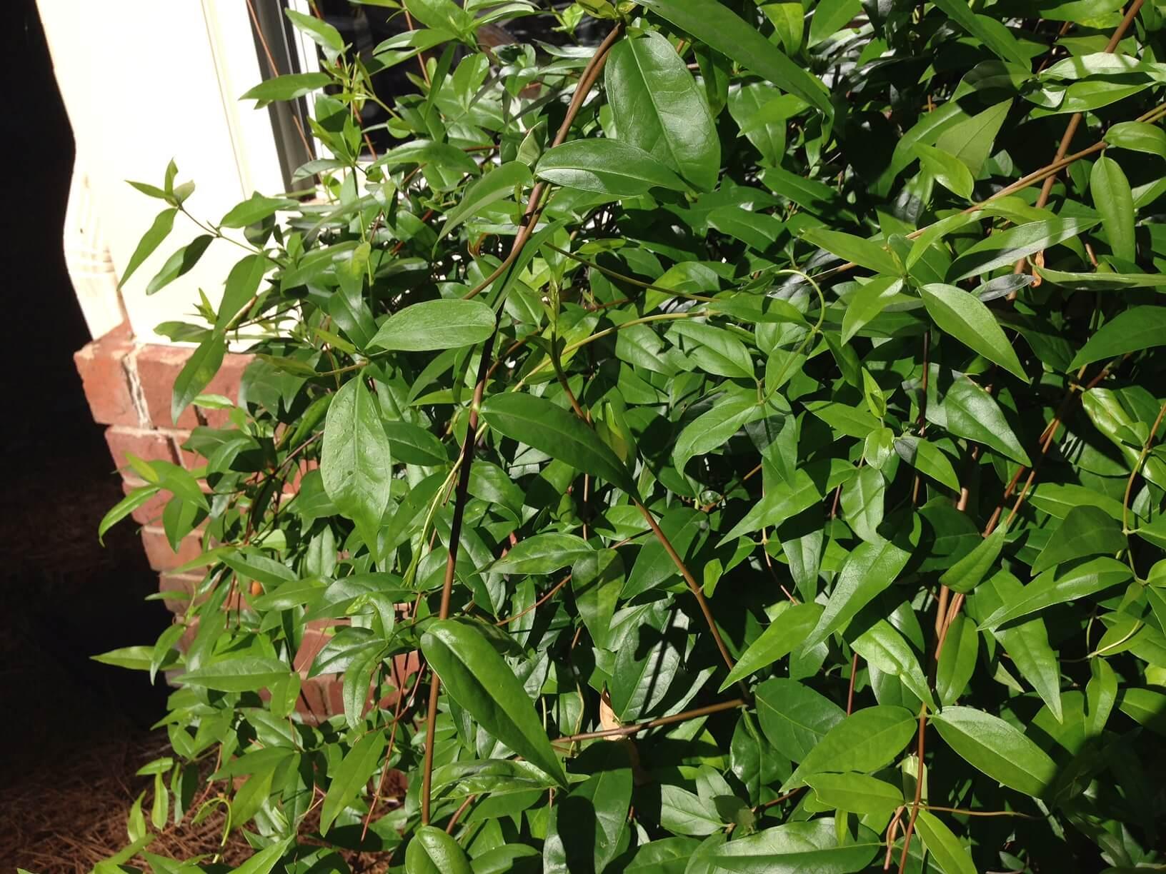 Carolina jessamine pruned 2