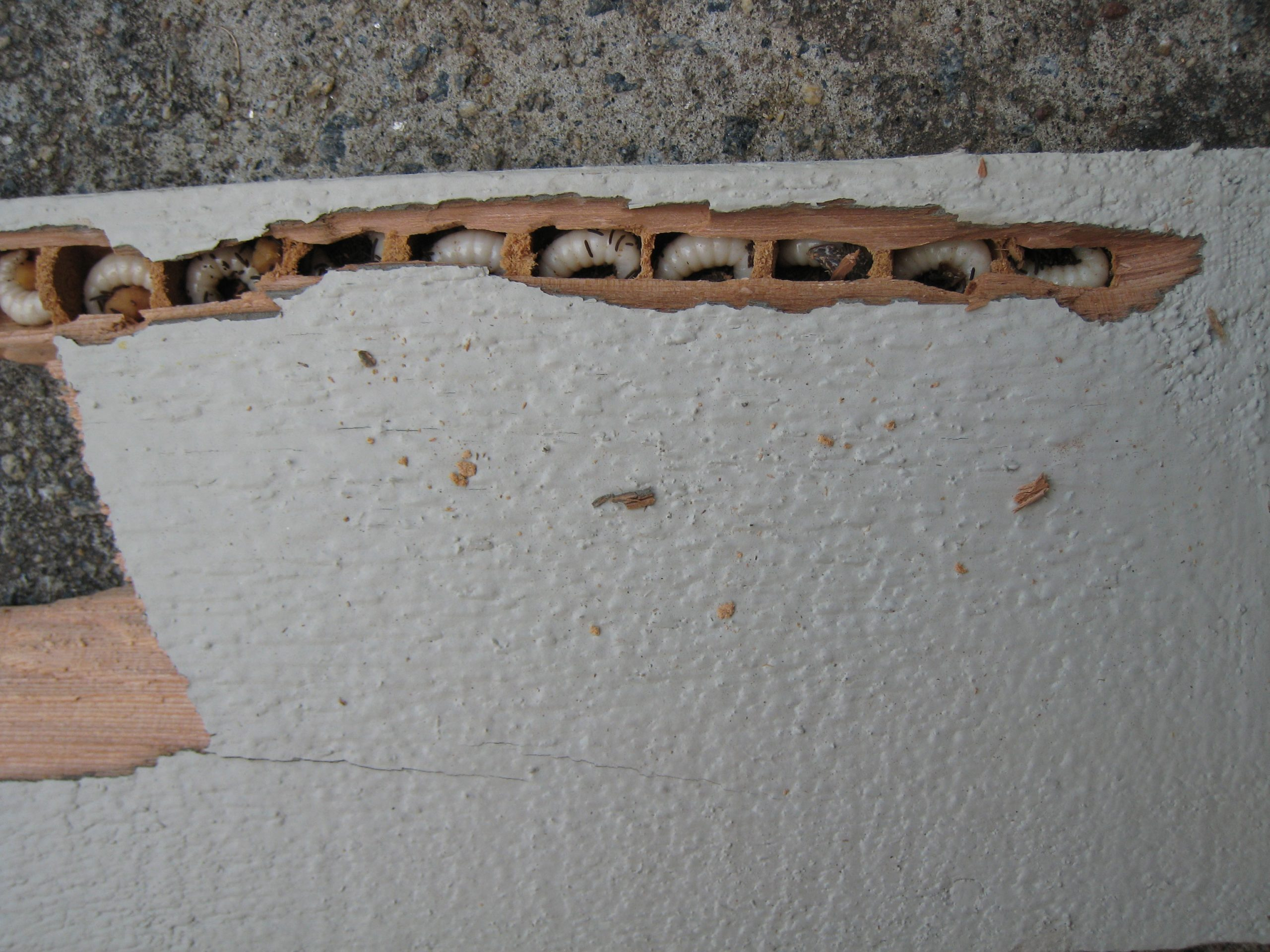 Carpenter bee damage