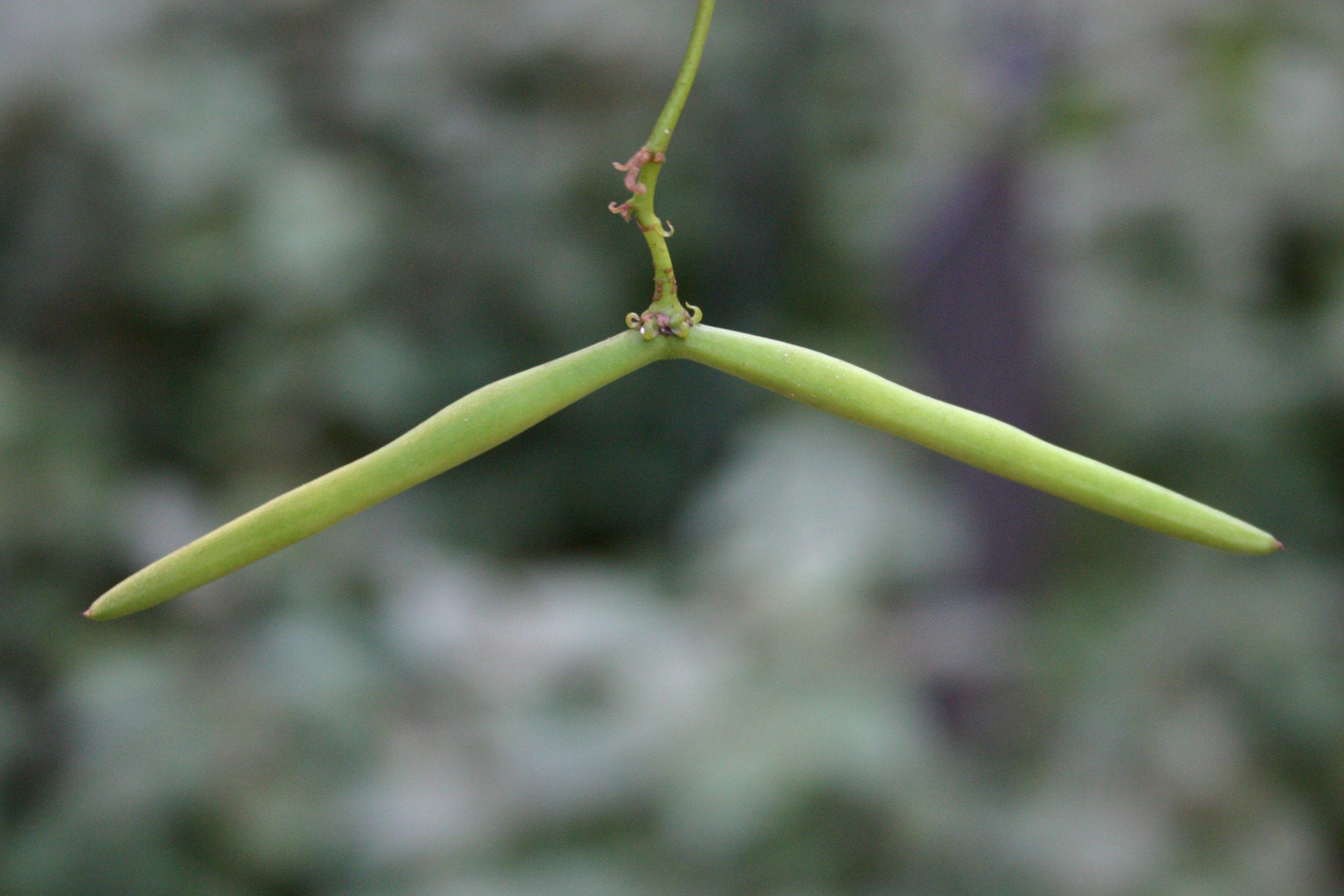 Confederate jasmine seed pods