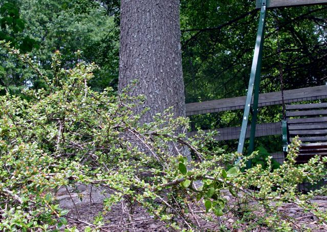 mistletoe in cotoneaster