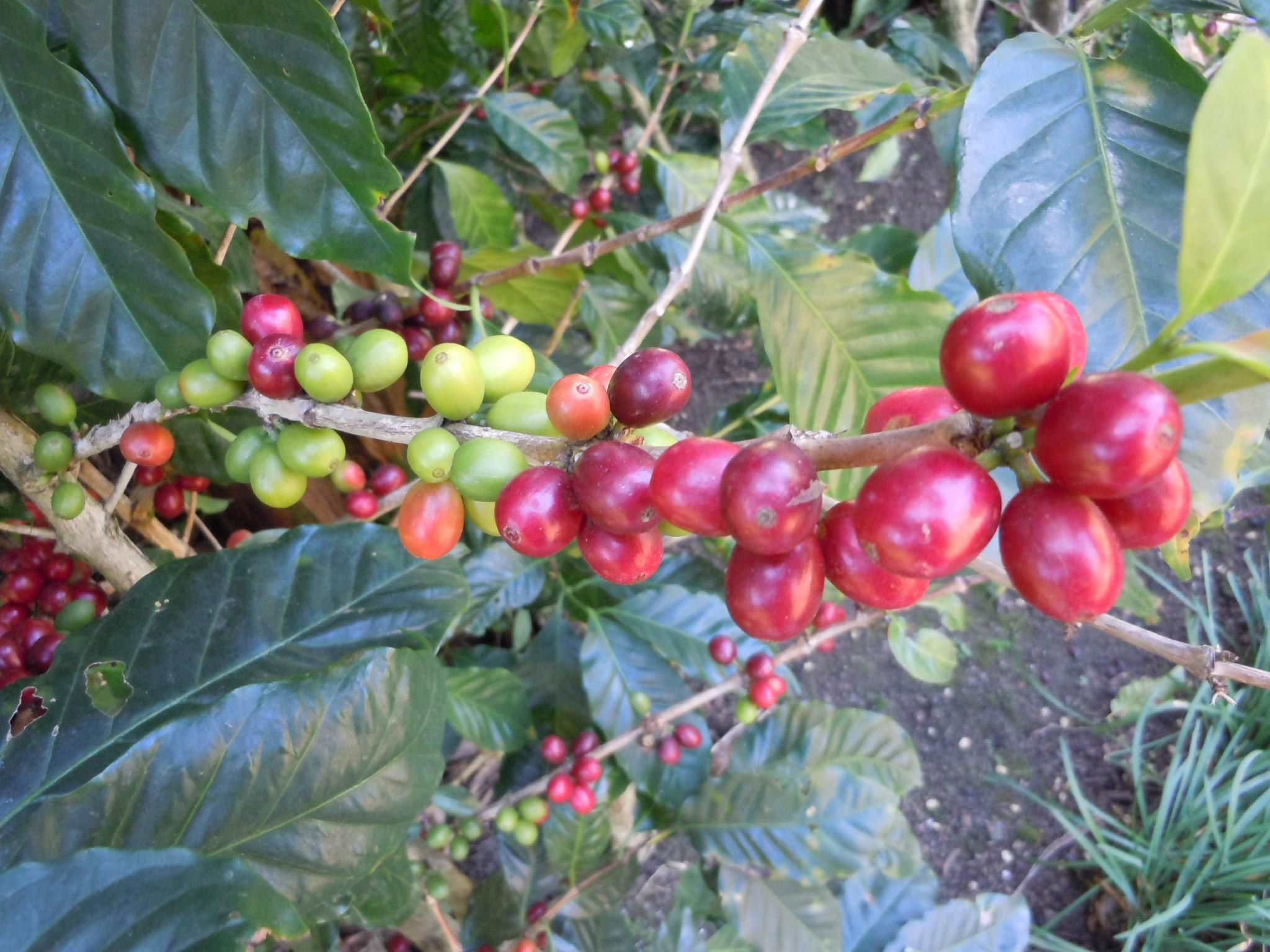 the red coffee beans are ready to pick