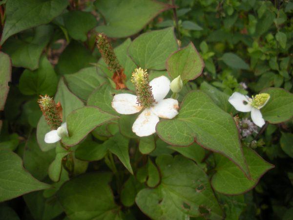 chameleon plant flower