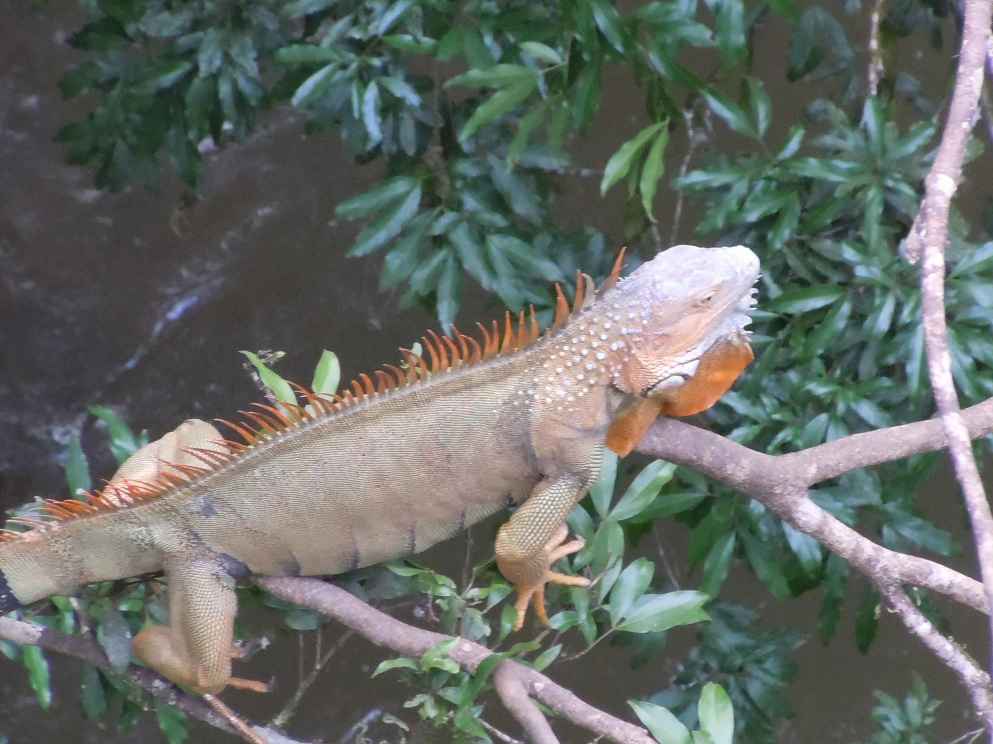 harmless iguana resting in a tree