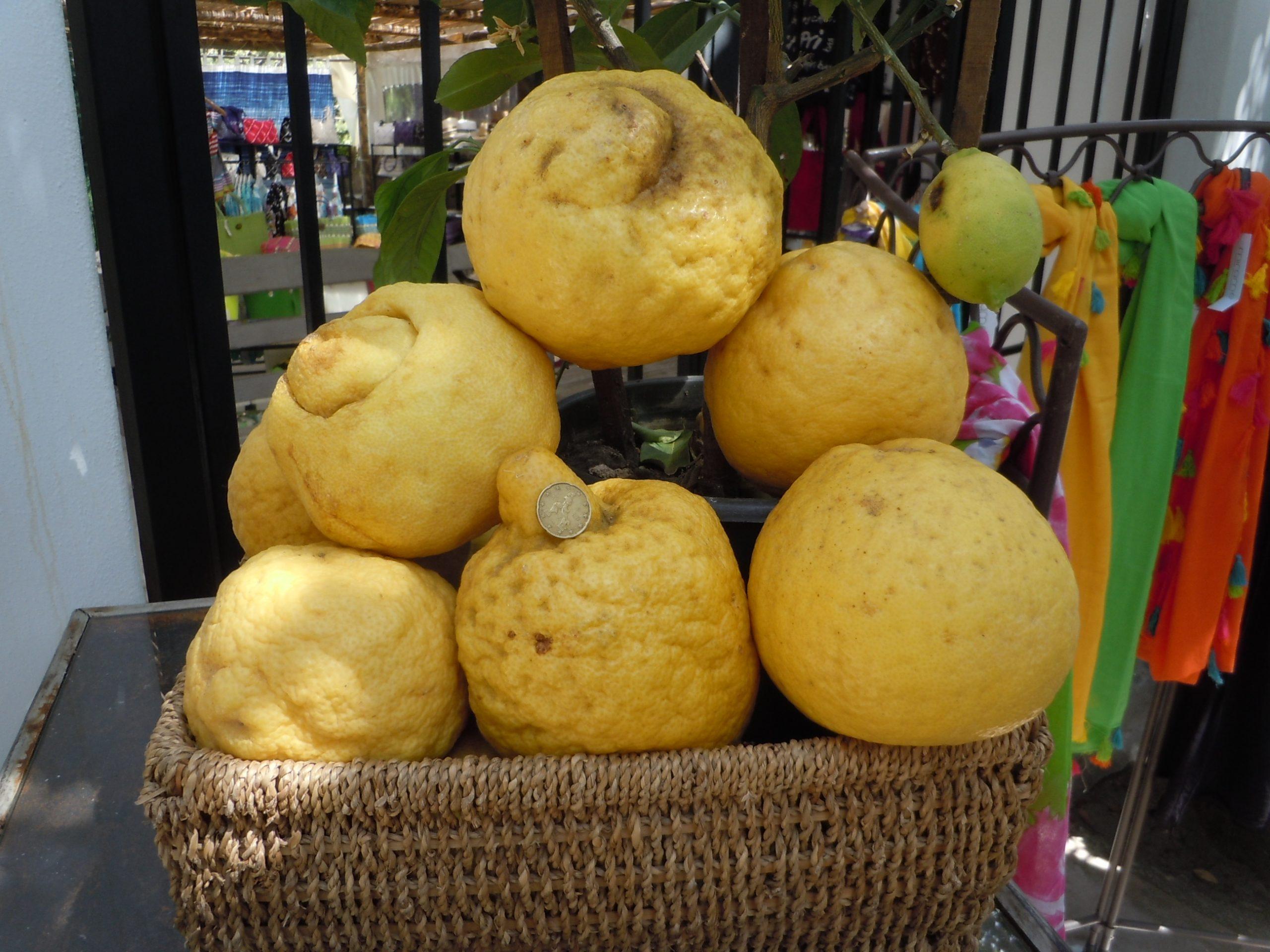 huge lemons used to make refreshing limoncello