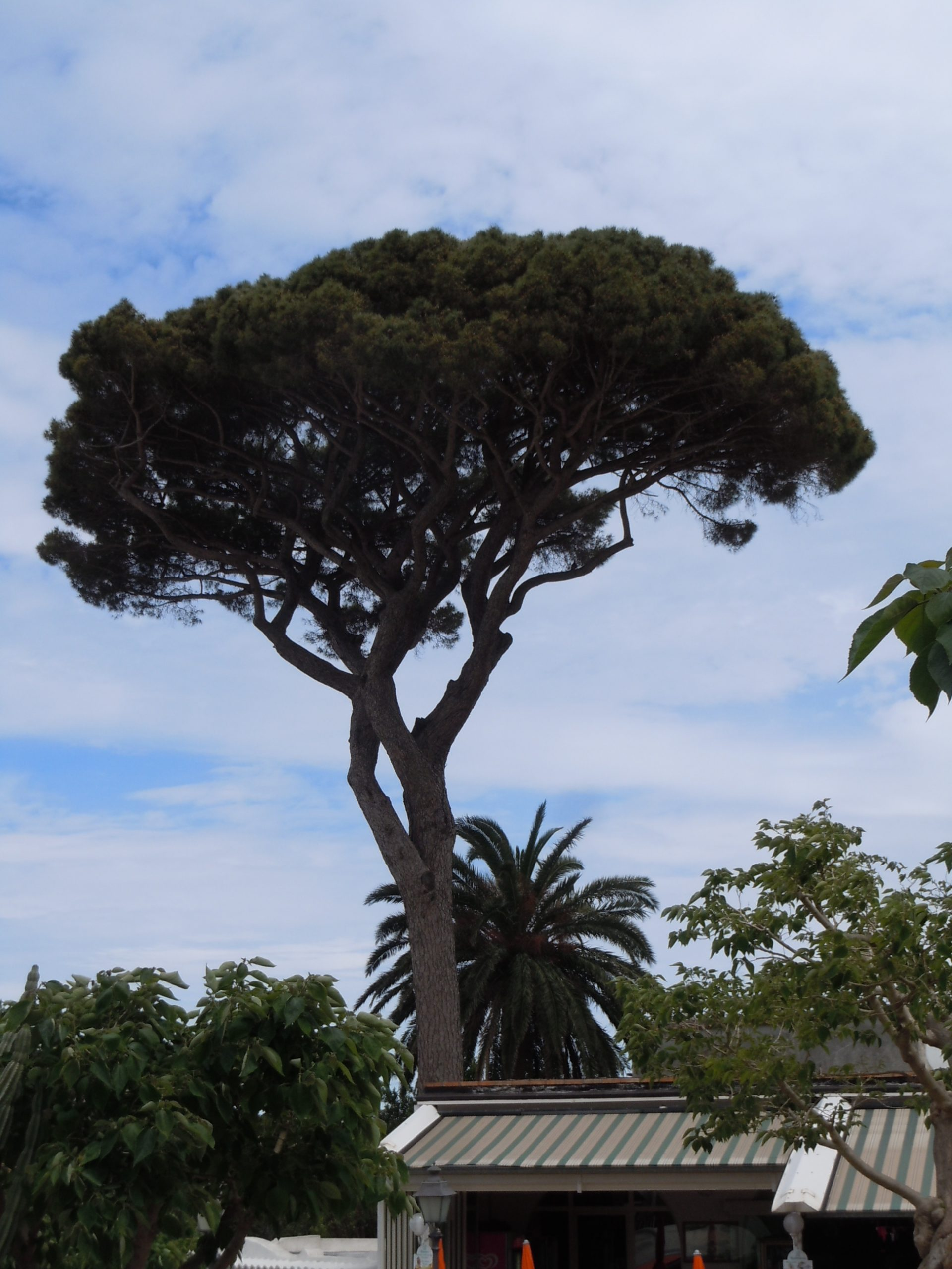 umbrella pine, the source of pine nuts