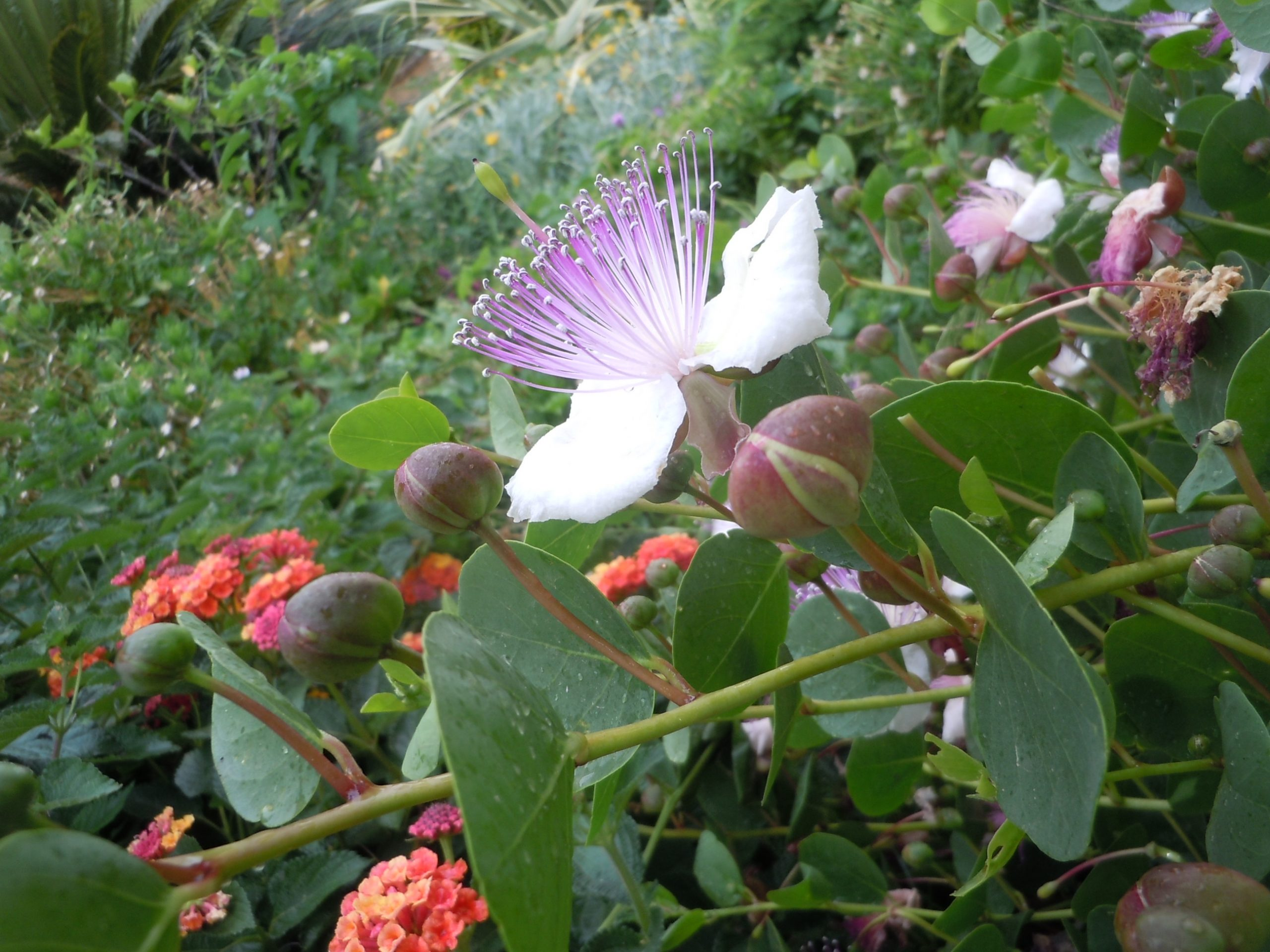 a caper flower. The flower buds are pickled to make the capers used in cooking