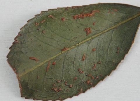 camellia oedema