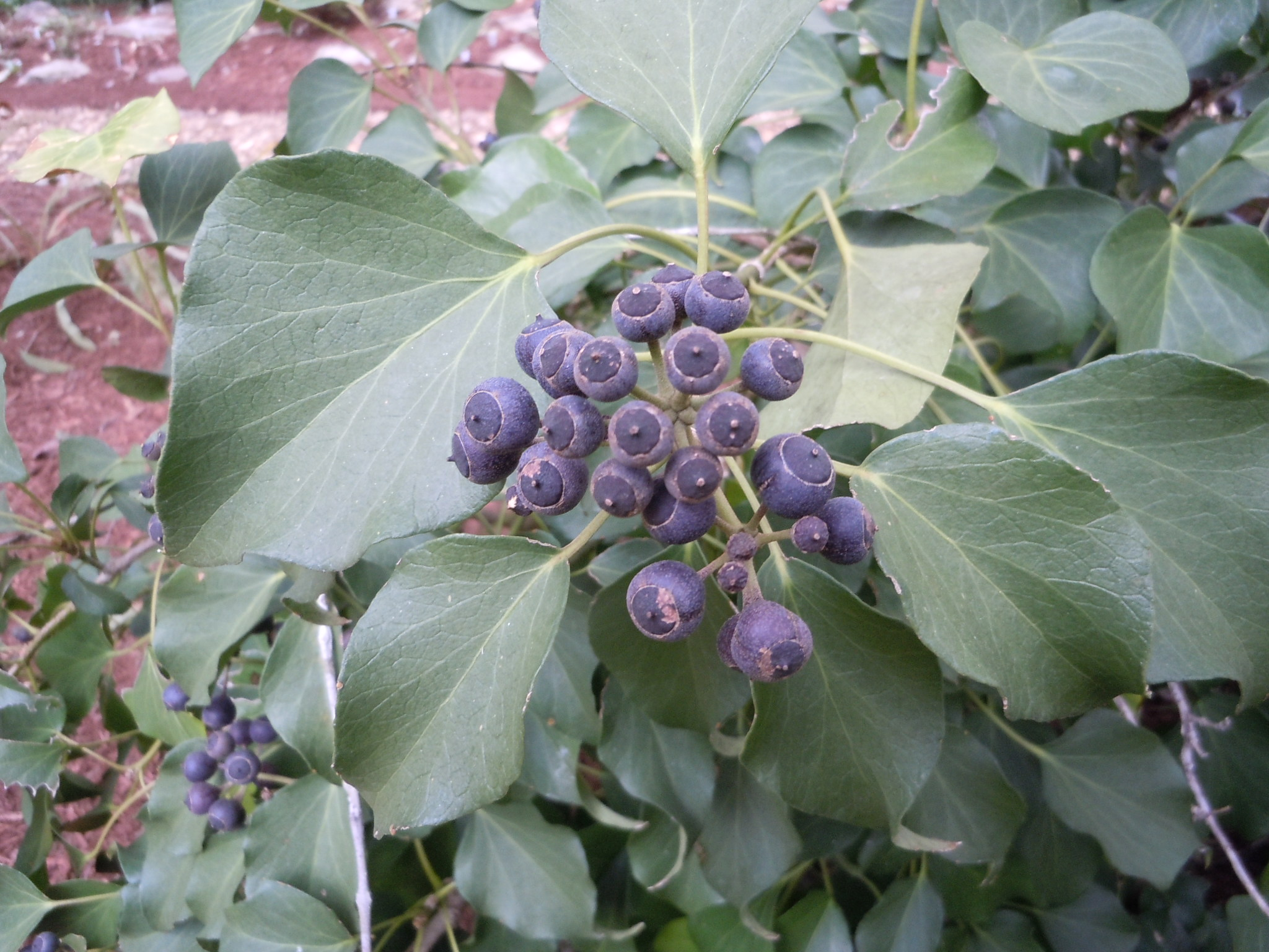 English ivy berries 2
