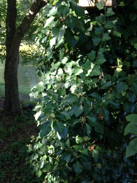 English ivy mature 2