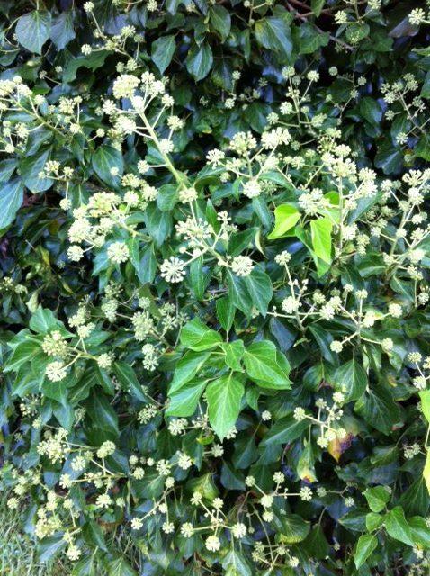 English ivy mature