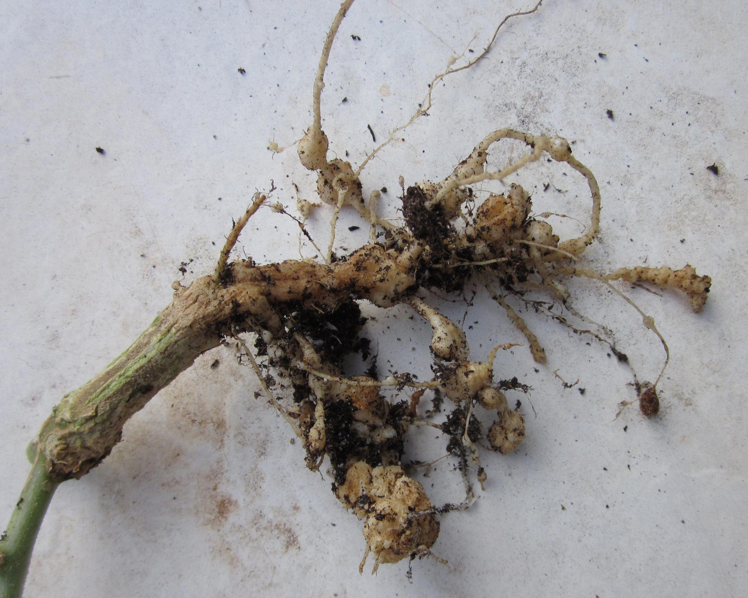 root knot nematode damage