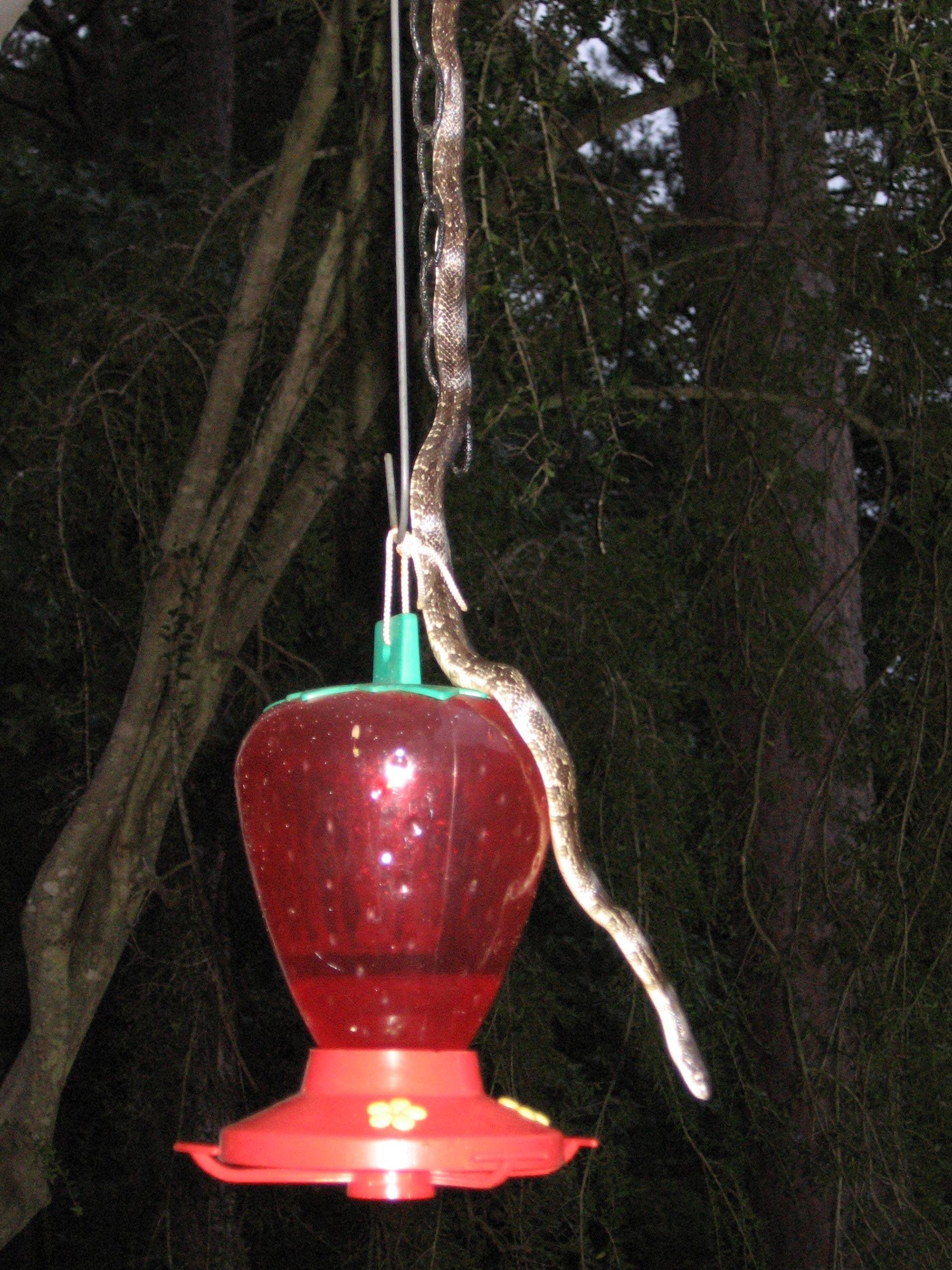 snake on hummingbird feeder