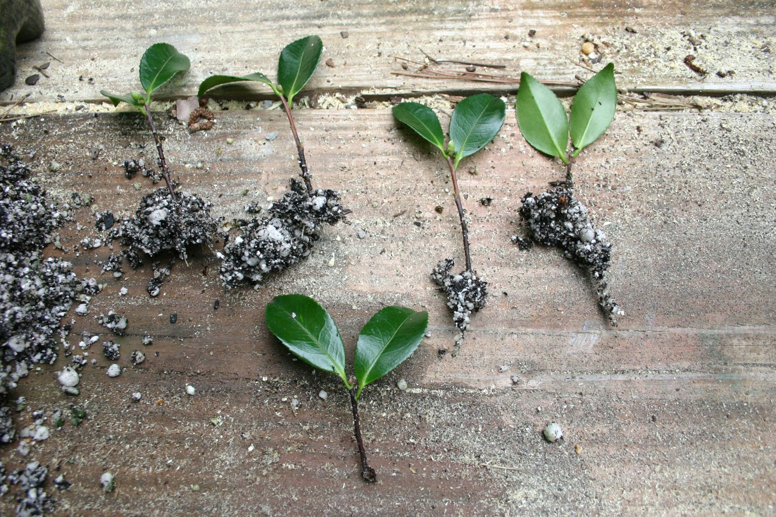 """gently remove cuttings ant plant into individual 8"""" pots; fertilize; do not transplant into garden until the pot is filled with roots"""