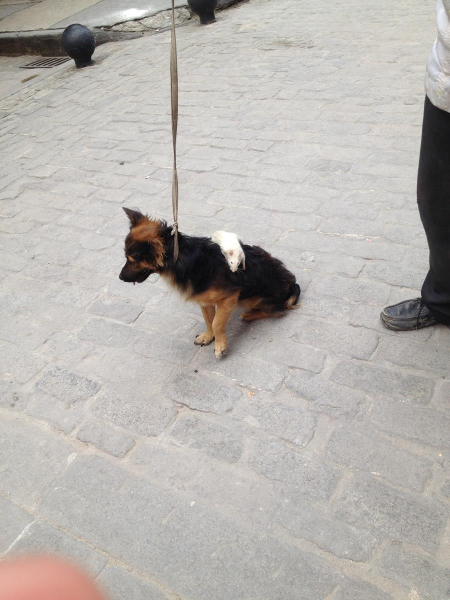 I did not expect to see a dog with a rat riding on its back!