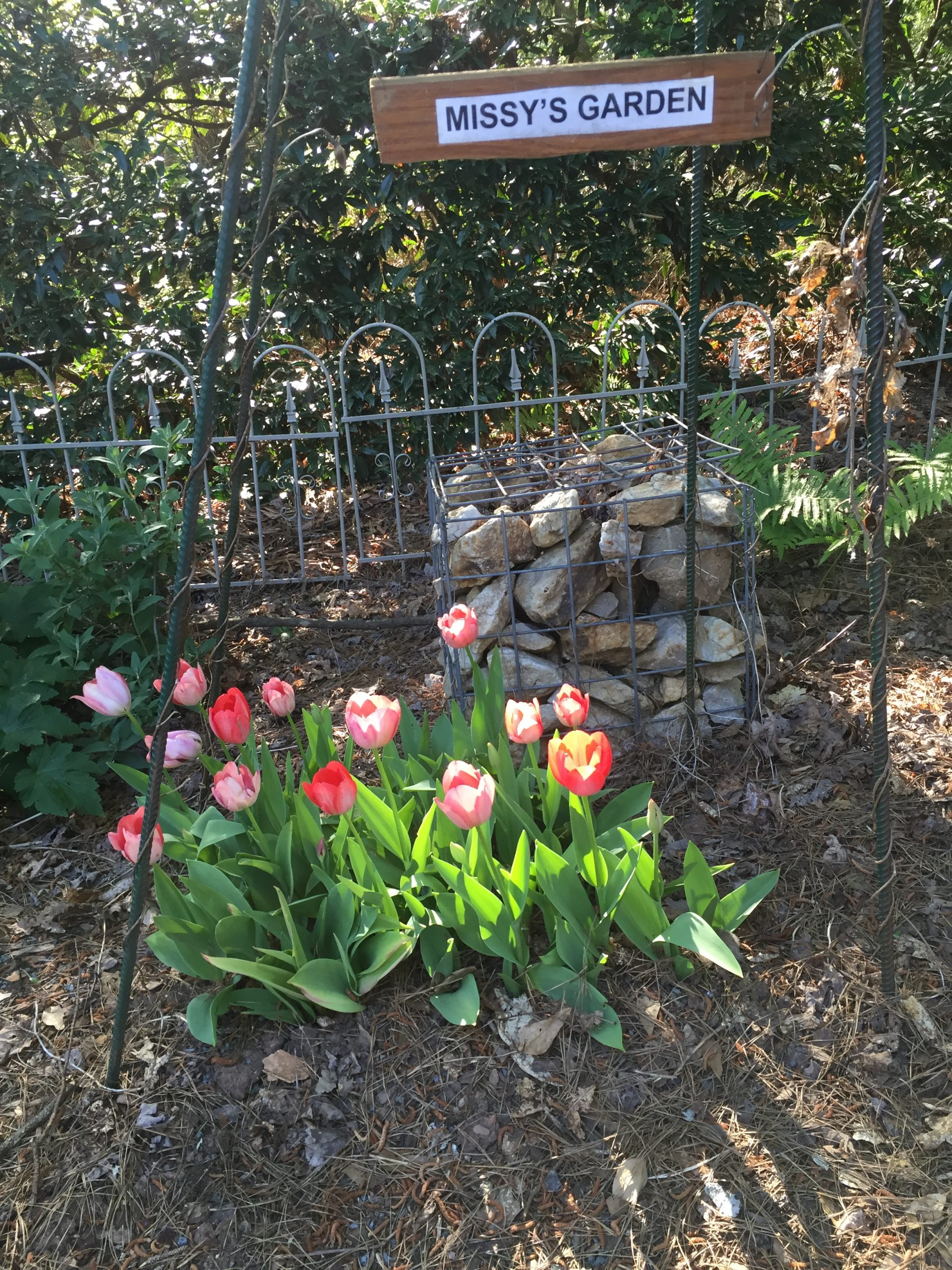 tulips planted early March, seen in mid-April