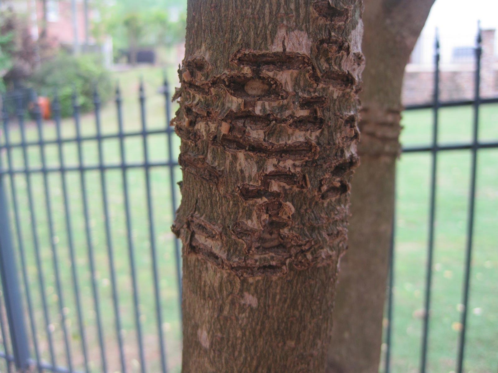 European hornet damage