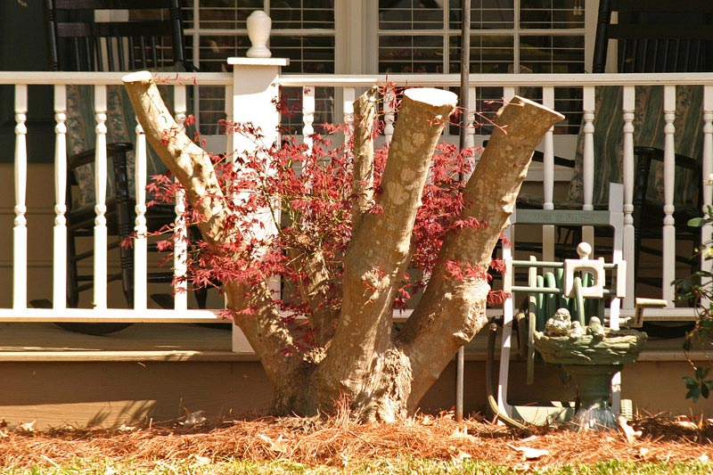 Japanese maple badly pruned (photo courtesy Lyle Collins www.southerntrillium.com)