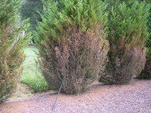 Leyland cypress cercospora