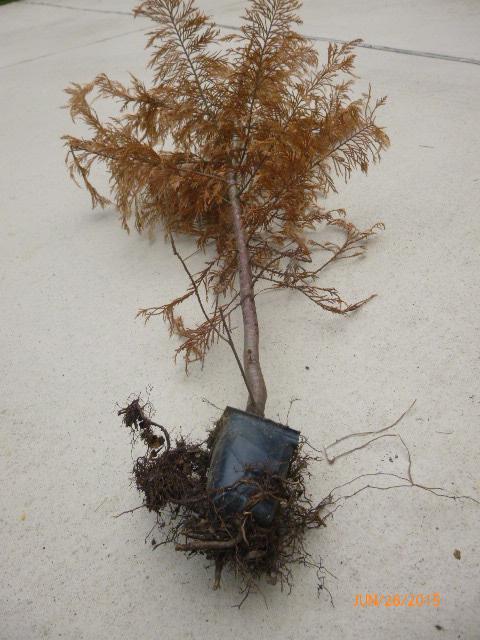 Leyland cypress pot too small 2