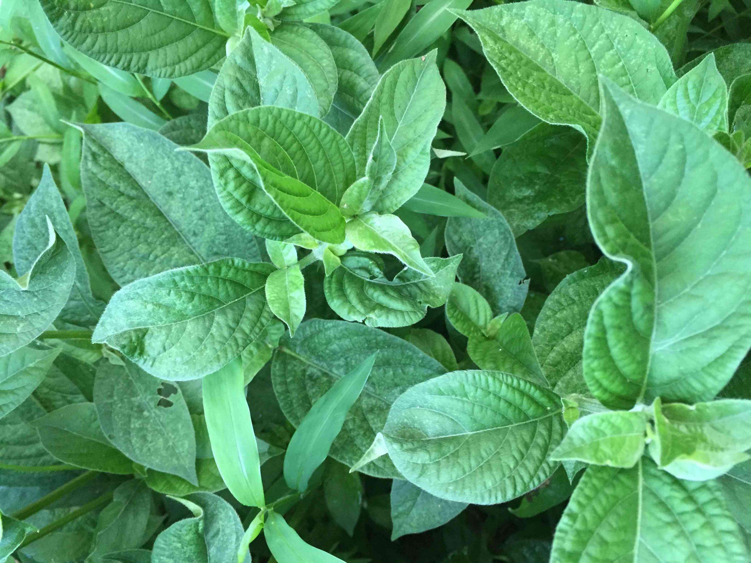 MG plant 4