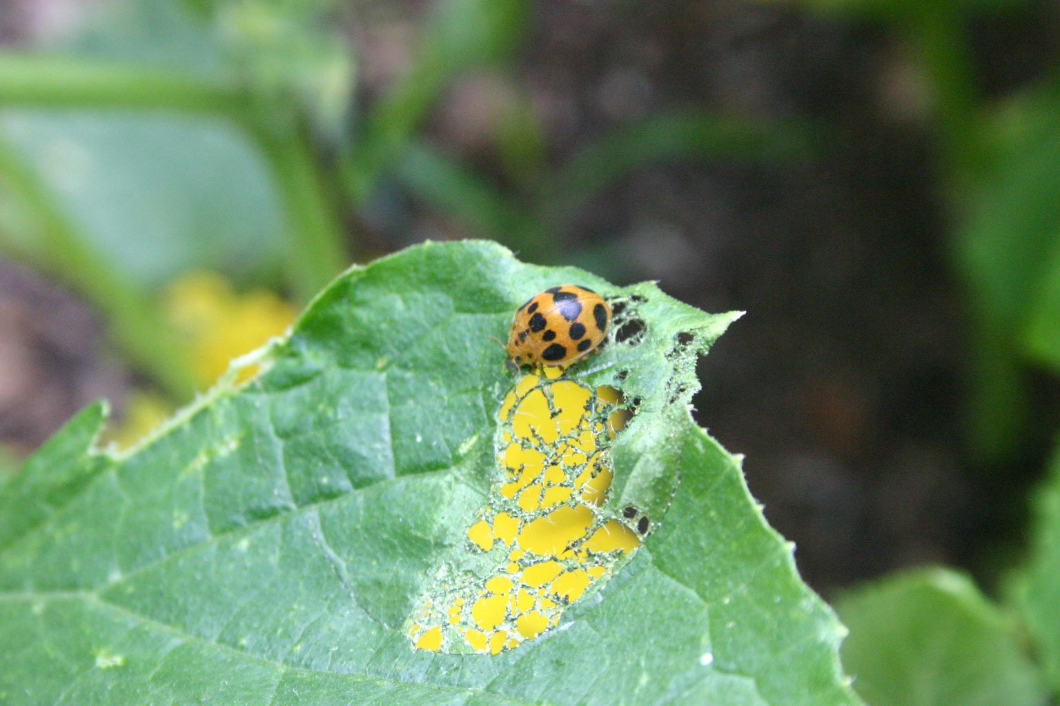 Mexican bean beetle on squash