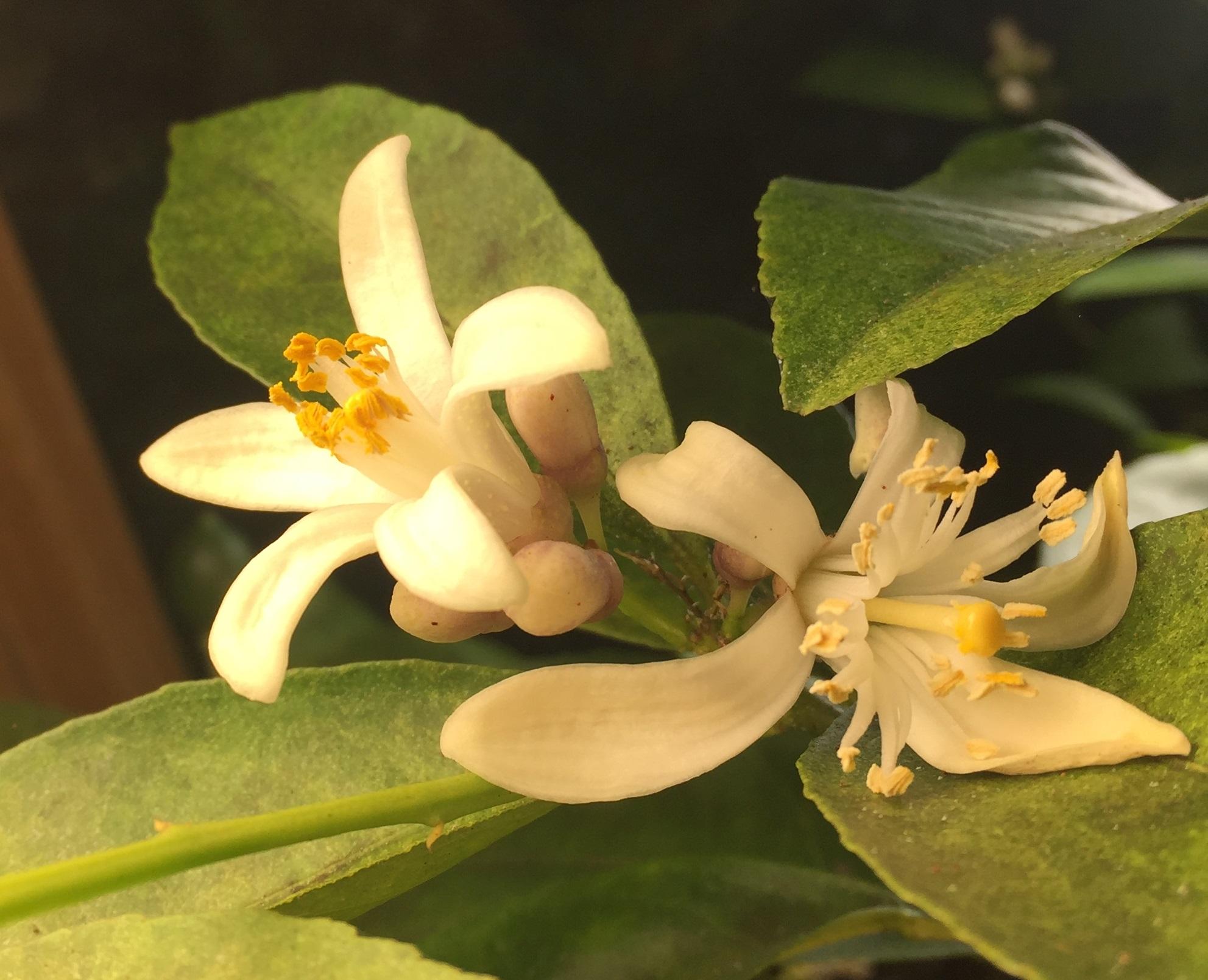 Meyer lemon flower