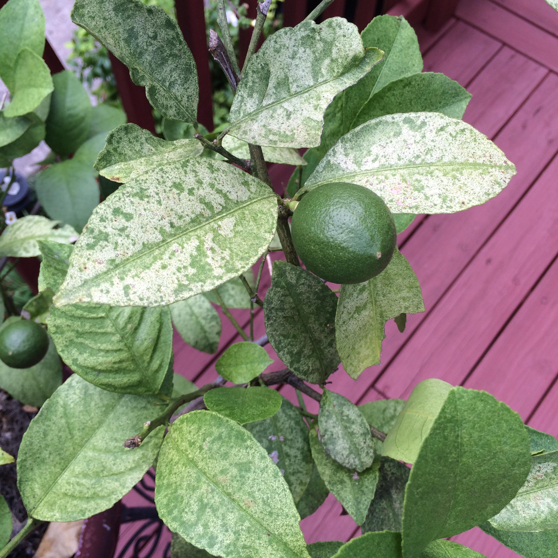 Meyer lemon insect 1