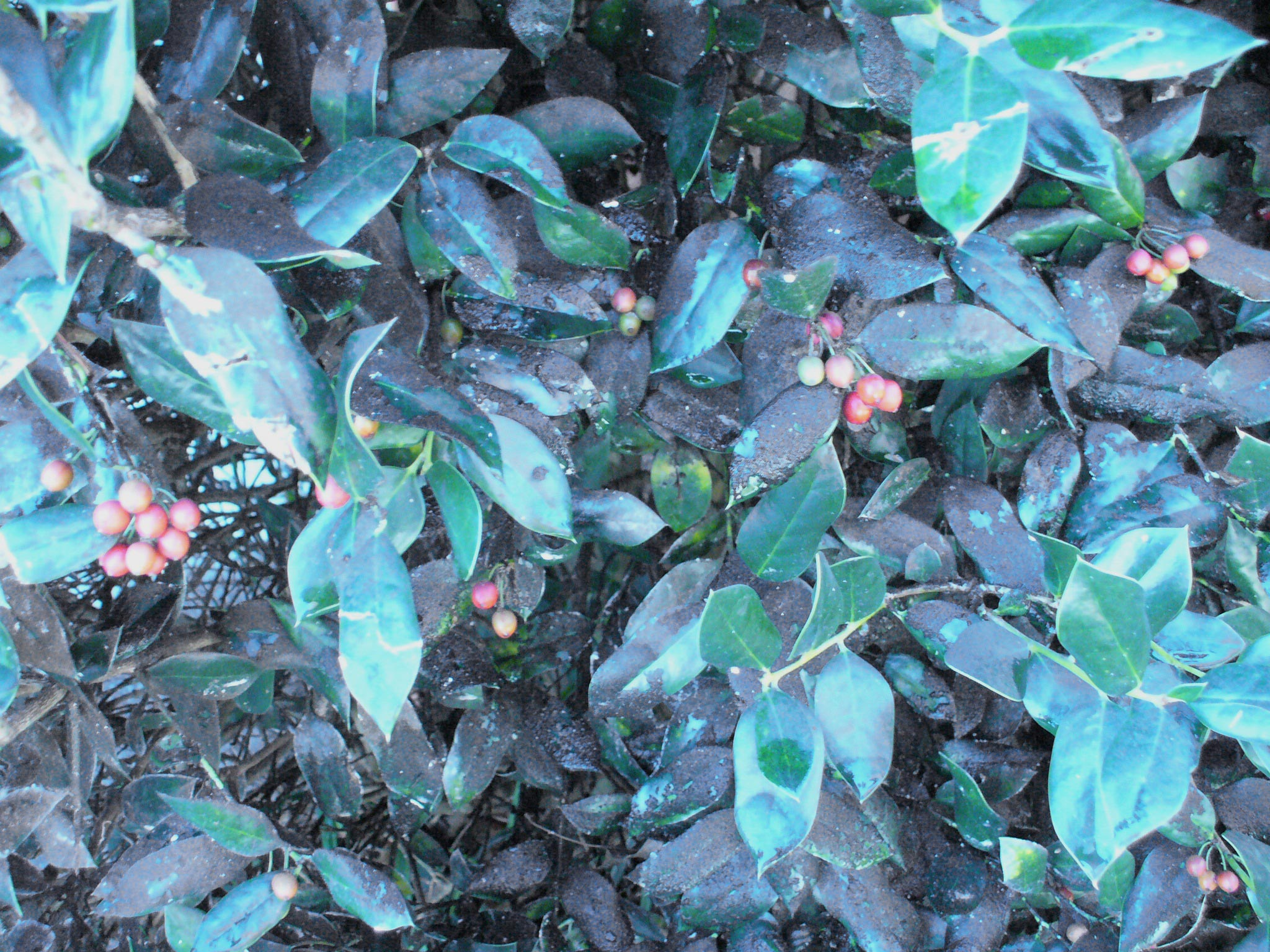 sooty mold on holly leaves