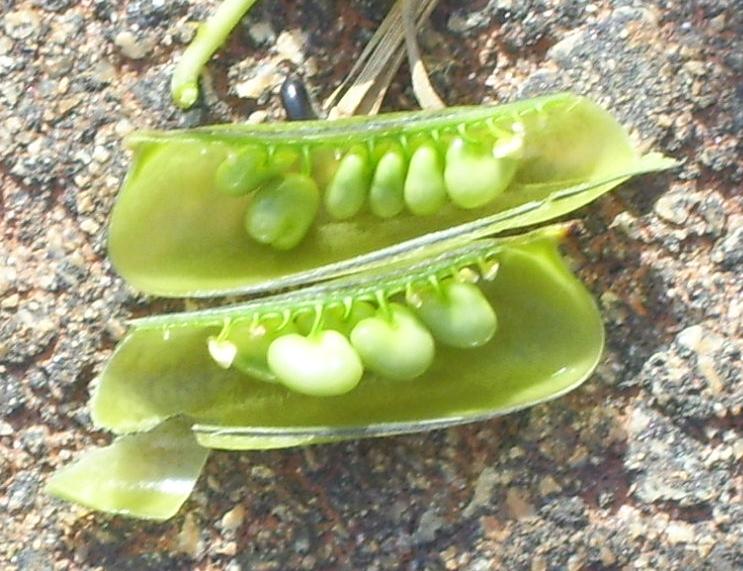 Rattlebox seed