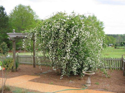 Arbor with Lady Banks rose April 2005