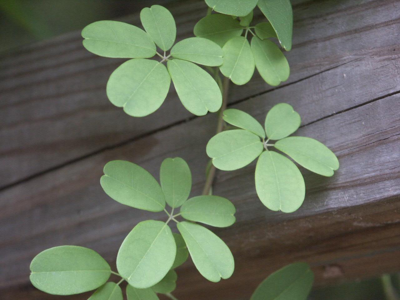 akebia leaves